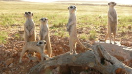 Meerkats 3D