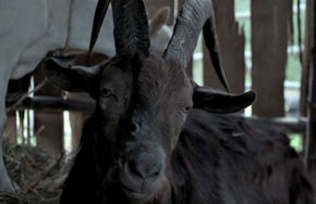 Black Phillip in The Witch